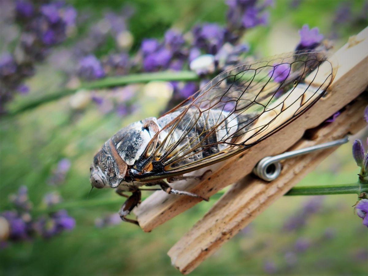 Cicadas et lavender